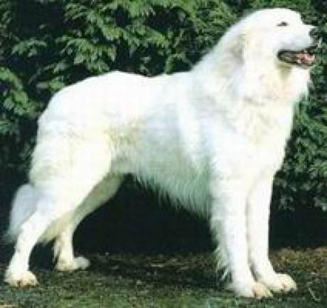 Порода собаки 5 букв а а